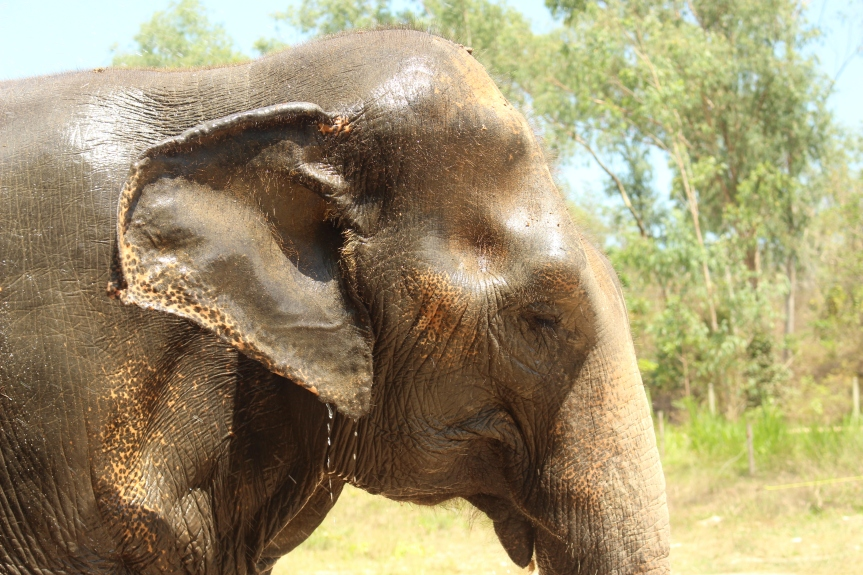 Why riding elephants is cruel #stopelephantabuse