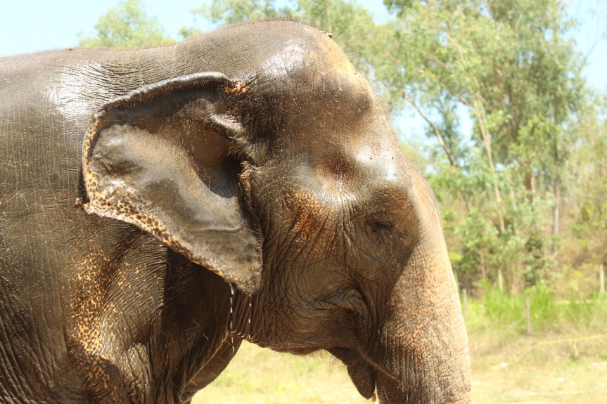 Why riding elephants is cruel #stopelephantabuse